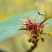 Ozark Witch-Hazel - Photo (c) Eric Hunt, all rights reserved