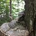 Ganoderma megaloma - Photo (c) caliddell, todos los derechos reservados