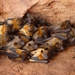 Eidolon dupreanum - Photo (c) Paul Cornish, todos os direitos reservados, uploaded by Mr Cornish