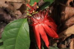 Passiflora vitifolia image