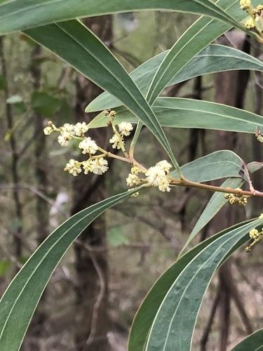 Wattles Genus Acacia Inaturalist Nz