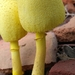 Leucocoprinus - Photo (c) Ashok Kashyap, all rights reserved