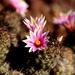Mammillaria mazatlanensis - Photo (c) Vlad Pelcastre, כל הזכויות שמורות