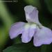 Sharpwing Monkeyflower - Photo (c) mattbuckingham, all rights reserved