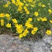 Dwarf Rock-Roses - Photo (c) campanula-alpina, all rights reserved