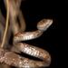 Serpiente Lira Sinaloense - Photo (c) Zabdiel Peralta, todos los derechos reservados