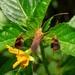 Anisoscelis - Photo (c) Joseph C, all rights reserved