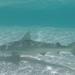 Tiburón Cangüay - Photo (c) nicolubitz, todos los derechos reservados