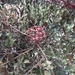 West Indian Holly - Photo (c) Juliana Montoya, all rights reserved