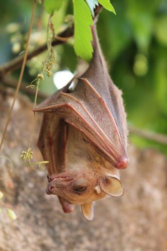 Dwarf epauletted fruit bat