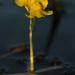 Utricularia radiata - Photo (c) mattbuckingham, kaikki oikeudet pidätetään