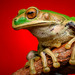 Marsupial Frogs - Photo (c) Andrés Mauricio Forero Cano, all rights reserved