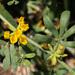 Acmispon dendroideus dendroideus - Photo (c) NatureShutterbug, todos los derechos reservados, uploaded by Lynn Watson, Santa Barbara