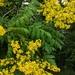 Koelreuteria paniculata - Photo (c) Jenn Morris Fodden, כל הזכויות שמורות