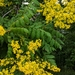 Goldenrain Tree - Photo (c) Jenn Morris Fodden, all rights reserved