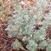 Artemisia frigida - Photo (c) Roxane Garcia, כל הזכויות שמורות