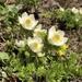 Pulsatilla occidentalis - Photo (c) Daniel Brevard, todos los derechos reservados