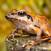 Pristimantis thectopternus - Photo (c) Andrés Mauricio Forero Cano, all rights reserved