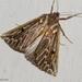 Compsoptera jourdanaria - Photo (c) Valter Jacinto, todos los derechos reservados