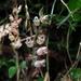 Goodyera foliosa - Photo (c) Po-Wei Chi, all rights reserved