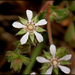 Horkelia cuneata - Photo (c) NatureShutterbug, όλα τα δικαιώματα διατηρούνται, uploaded by Lynn Watson, Santa Barbara