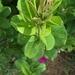 Argyreia cuneata - Photo (c) Chandan Pandey, todos los derechos reservados