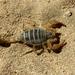 Paruroctonus maritimus - Photo (c) rjadams55, todos los derechos reservados, uploaded by R.J. Adams