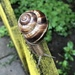 Turkish Snail - Photo (c) Ana Avramova, all rights reserved