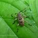 Atrypanius haldemani - Photo (c) Francisco Ramírez Palacios, all rights reserved