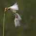 Slender Cottongrass - Photo (c) Scott King, all rights reserved