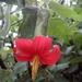 Mutisia clematis - Photo (c) Juan Sebastian Martinez Moreno, todos los derechos reservados