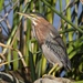 Green Heron - Photo (c) cindunlap, all rights reserved