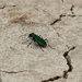 Death Valley Tiger Beetle - Photo (c) rjadams55, all rights reserved, uploaded by R.J. Adams