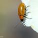 Exosoma lusitanicum - Photo (c) Valter Jacinto, todos los derechos reservados