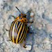 Colorado Potato Beetle - Photo (c) Valter Jacinto, all rights reserved