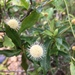 Chinese Buttonbush - Photo (c) Edith Law, all rights reserved