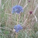 Allium caeruleum - Photo (c) Sarah Kjellman, all rights reserved