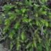 Echinodium hispidum - Photo (c) John van den Hoeven, all rights reserved, uploaded by John Van den Hoeven