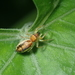 Lami Beach Northern Jumping Spider - Photo (c) 劉小橙, all rights reserved