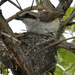 Sousa's Shrike - Photo (c) jwwilso3, all rights reserved, uploaded by Johnny Wilson