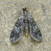 Black Duckweed Moth - Photo (c) David Beadle, all rights reserved, uploaded by dbeadle