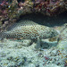 Honeycomb Grouper - Photo (c) Mark Rosenstein, some rights reserved (CC BY-NC-SA)