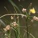 Bolboschoenus maritimus paludosus - Photo (c) Jay Keller, todos os direitos reservados, uploaded by Jay L. Keller