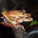 Convict Tree Frog - Photo (c) andriusp, all rights reserved