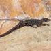 Lepidoblepharis heyerorum - Photo (c) andriusp, todos los derechos reservados