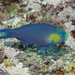 Greensnout Parrotfish - Photo (c) Mark Rosenstein, all rights reserved