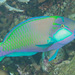 Bleeker's Parrotfish - Photo (c) Mark Rosenstein, all rights reserved