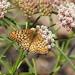 Speyeria callippe callippe - Photo (c) rjadams55, todos los derechos reservados, uploaded by R.J. Adams