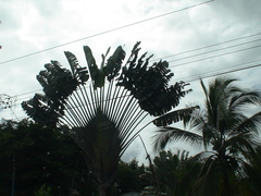 Ravenala madagascariensis image