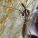 Holorusia hespera - Photo (c) rjadams55, todos los derechos reservados, uploaded by R.J. Adams